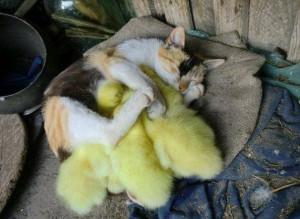 cat&chickens