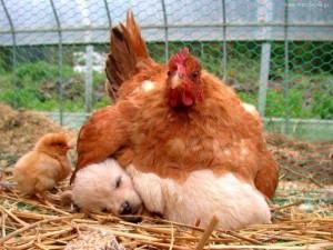 hen&dog