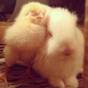 rabbit&chicken